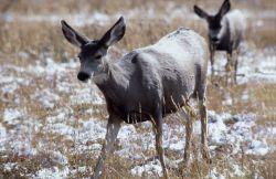Mule deer doe Photo