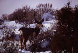Mule deer doe in snow Photo
