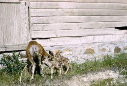 Mule deer doe & fawns (twins) near structure in unknown location Photo