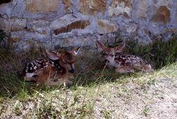 Mule deer fawns beside building Photo