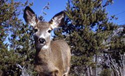 Close up of mule deer doe Photo