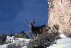 Mule deer buck in snow Photo