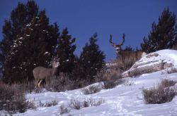 Two mule deer bucks in snow - one is a spike Photo