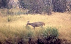 White-tail deer at Soda Butte Creek & Lamar River confluence Photo