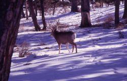 Mule deer in snow Photo