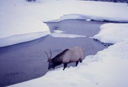 Elk in winter Photo