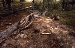 Remains of elk carcass Photo