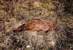 Elk calf hiding in grass Photo