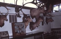 Trophy heads in museum Photo