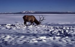Bull elk on frozen West Thumb Photo