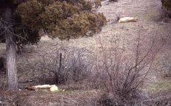 Winter kill elk in Gardner River Canyon Photo