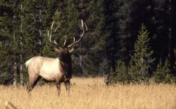 Bull elk in meadow Photo