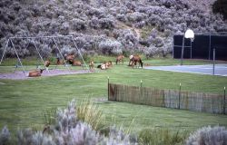 Elk at Mammoth school playground Photo