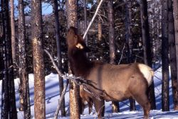 Cow elk eating lodgepole pine bark in winter in the Old Faithful area Photo