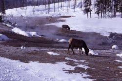 Elk near Roaring Mountain in winter Photo