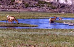 Cow elk & calves in the Gibbon River Photo