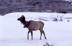 Collared cow elk at Castle Geyser in winter Photo