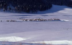 Elk herd in winter in Lamar Valley Photo