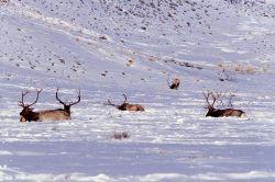 Five bull elk in near Wraith Falls trailhead Photo