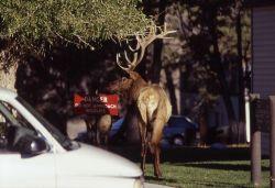 Aggressive bull elk in Mammoth Hot Springs Photo