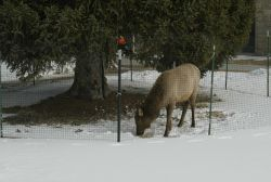 Cow elk in winter inside elk fence near the Administration Offices in Mammoth Hot Springs Photo