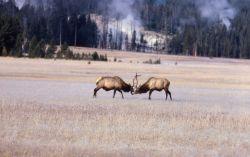 Bull elk fighting Photo