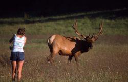 Bull elk & visitor Photo