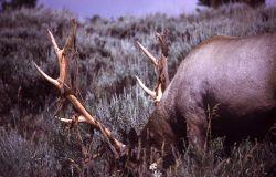 Bull elk shedding velvet Photo