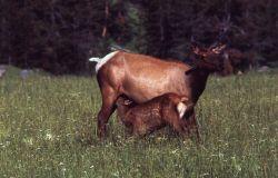 Elk cow & nursing calf Photo