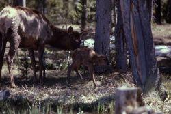 Elk & calf Photo