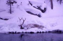 Dead elk on Firehole River near Cascades Photo