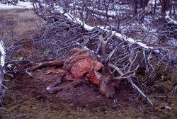 Elk carcass Photo