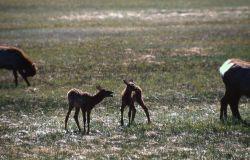 Two elk calves Photo