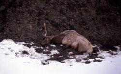 Dying bull elk in Lamar Valley Photo