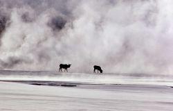 Elk in geyser basin steam in winter Photo