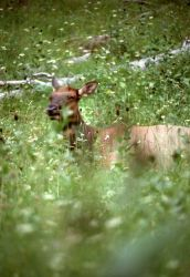 Close up of cow elk in meadow grass Photo