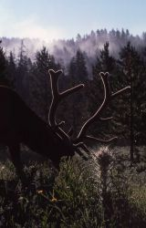 Bull elk & elk thistle Photo