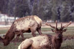Bull elk in Gibbon Meadows Photo