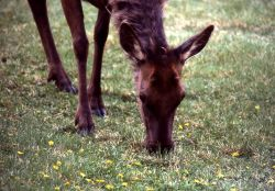 Cow elk chewing Photo
