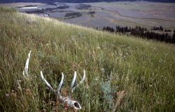 Elk skull in Lamar Valley Photo