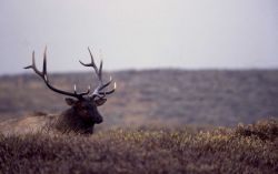 Bull elk on Swan Lake Flats Photo