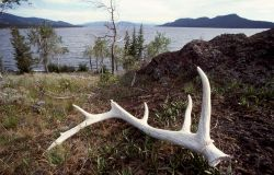 Elk antler on southeast arm of Yellowstone Lake Photo