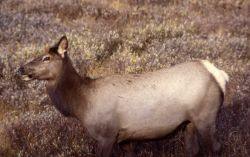 Cow elk with mouth open Photo
