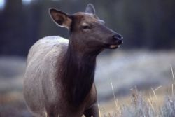 Cow elk with ears back Photo