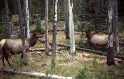 Elk cows in lodgepole Photo