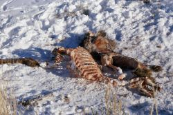 Elk carcass in snow 20 hours after death Photo