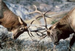Bull elk sparring Photo