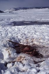 Elk carcass in the snow Photo
