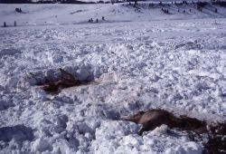 Elk carcass in snow Photo