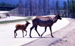 Cow elk & calf crossing road Photo